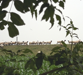 Sheep on a Rainy Day, August 2011