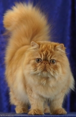 Persian Cat, Wikimedia Commons