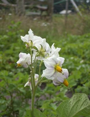 potato blossom