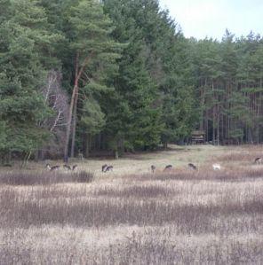 Deer, January 2013